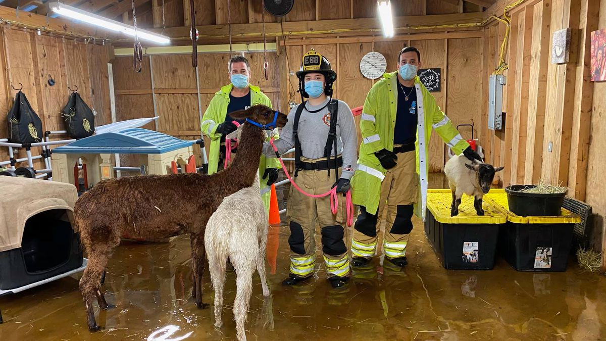 Some alpacas and goats trapped in a Florida barn were rescued Monday thanks to the Davie Fire...