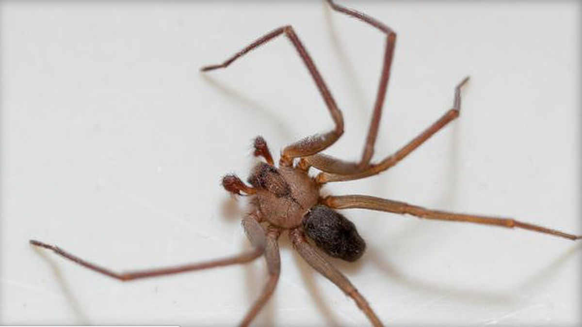 Tennessee Woman Claims Her Apartment Is Infested With Brown Recluse Spiders