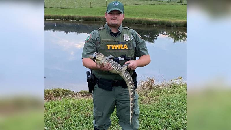 The alligator was transported to a local zoo, according to TWRA.