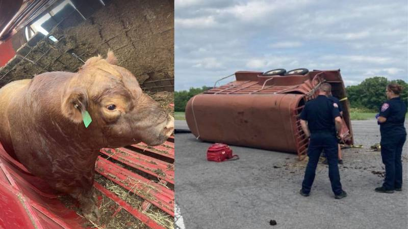 The owners of the Aberdeen Angus bull were transporting the animal from Missouri to sell it.
