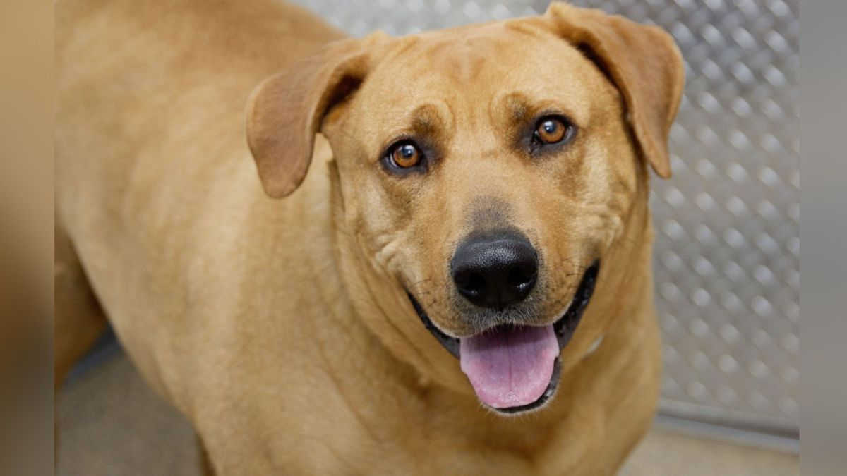 Meet WVLT's May dog of the month from the Humane Society of the Tennessee Valley, Amber!