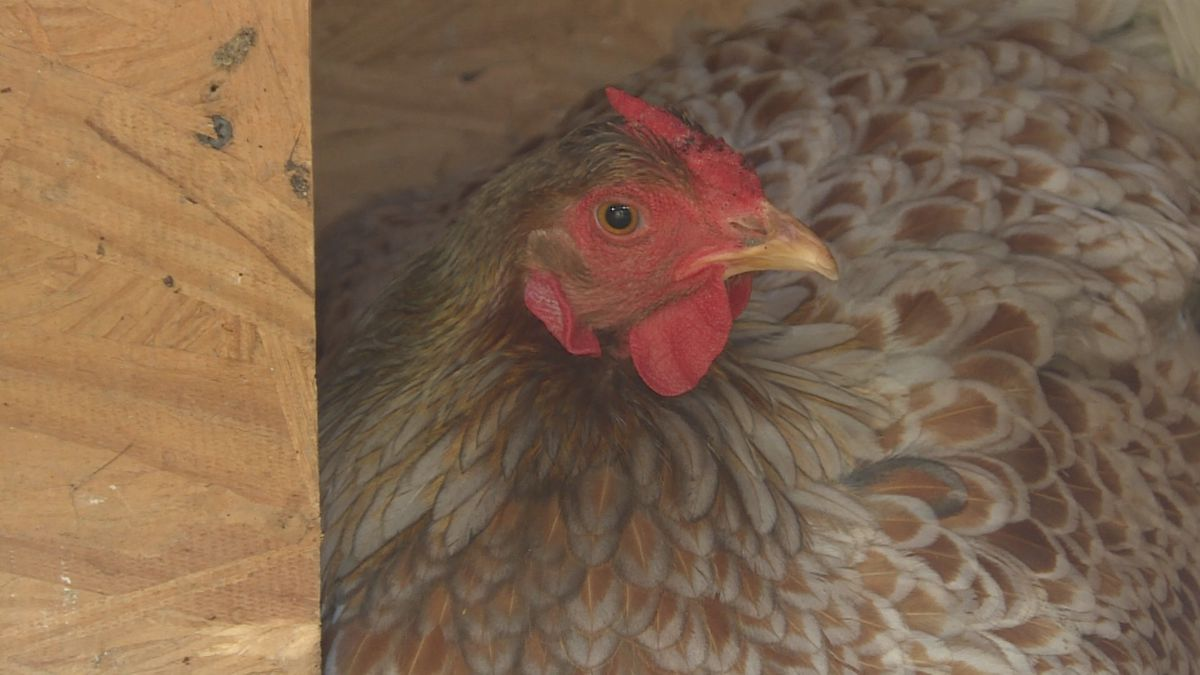 CDC: Backyard chicken coops causing salmonella, tips to ...