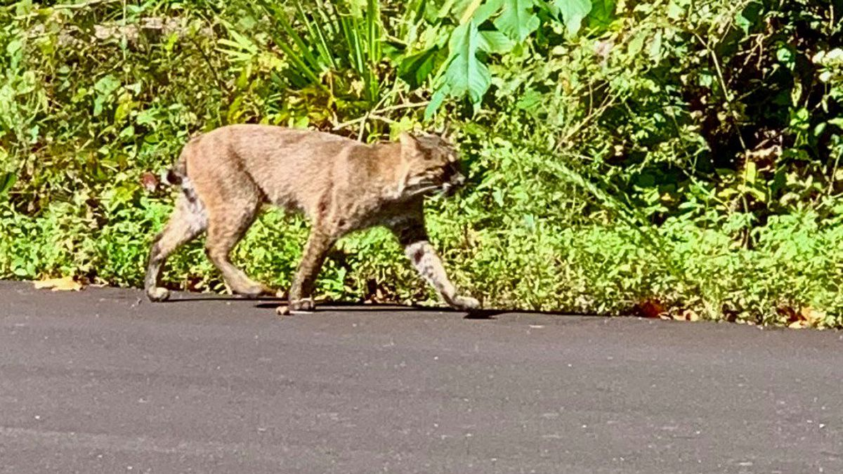 Mammoth Cave National Park caught a rare sighting of a bobcat wandering around during the...