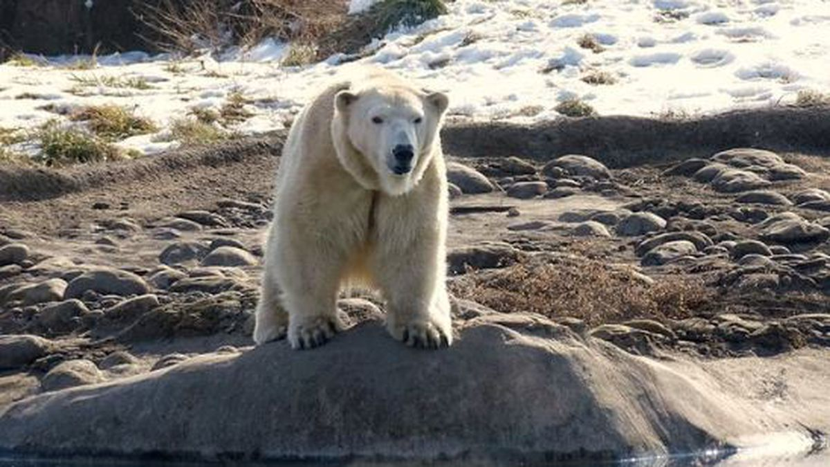 The female polar bear, who arrived from the Cincinnati Zoo in late January, joins 15-year-old...