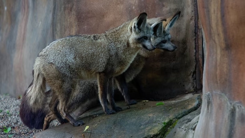 Zoo Knoxville welcomes bat-eared foxes Fern and Motsumi to the family