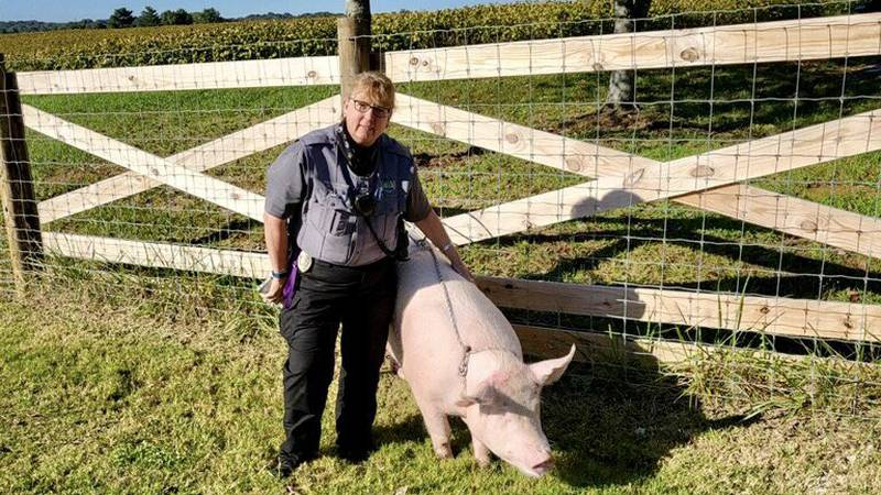 Knoxville officials catch pigs on the loose on Alcoa Highway