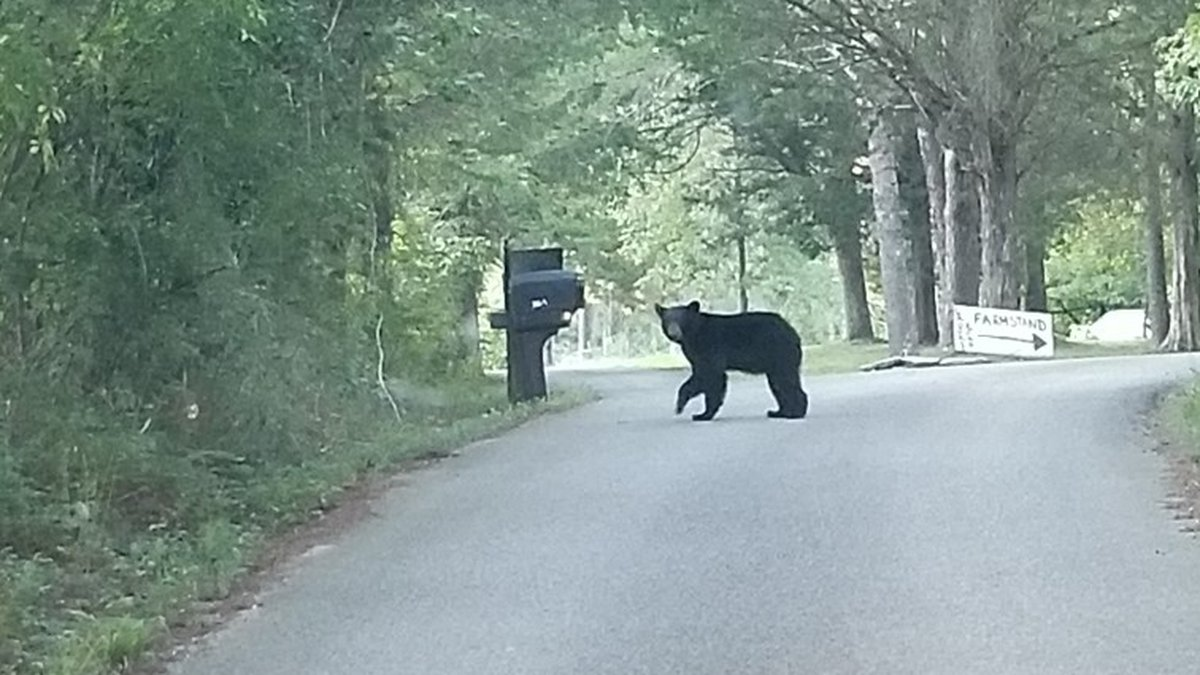 Black bear spotted in South Knoxville neighborhood.