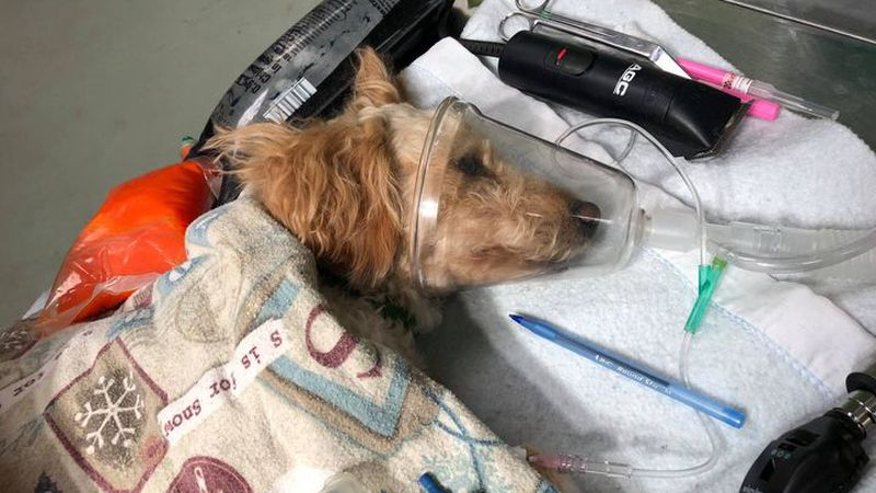 Despite life-saving measure by a veterinary team at Foothills Animal Shelter, the dog succumbed...