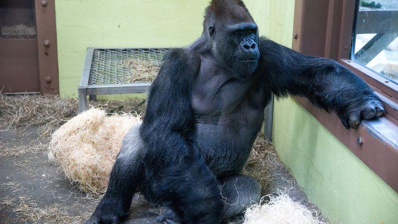Wanto was born at Woodland Park Zoo in Seattle, Washington.