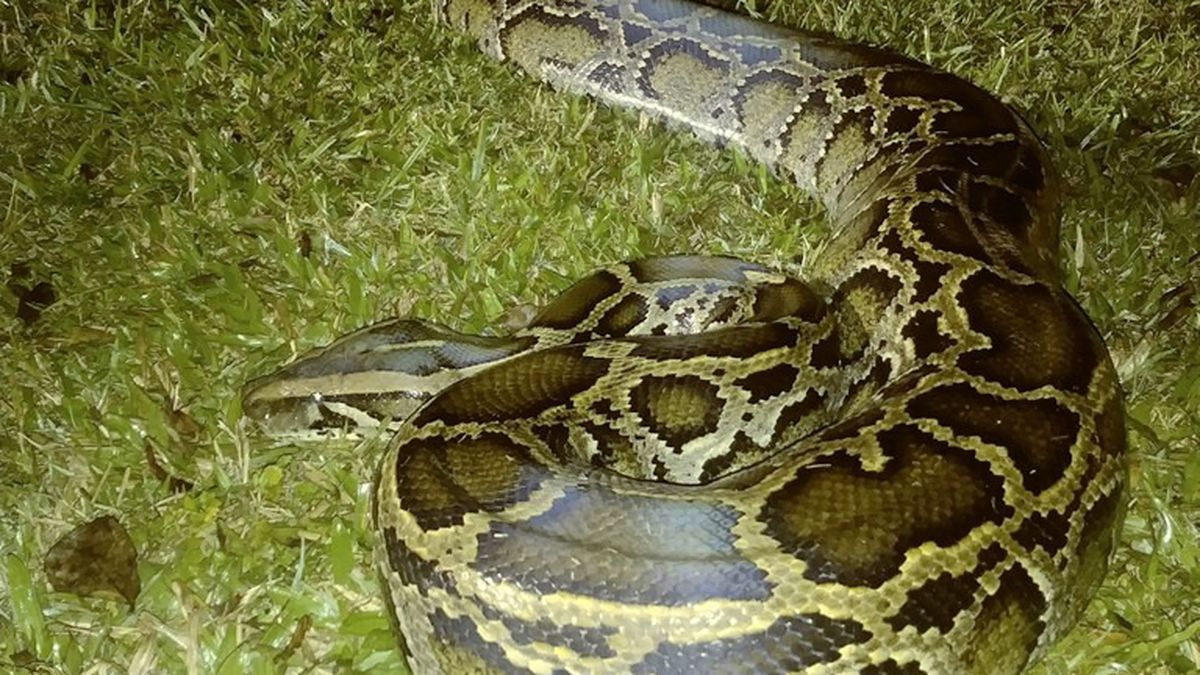 The Florida Fish and Wildlife Conservation Commission's Python Elimination Program announced a milestone this week with the capture of its 5,000th Burmese python.