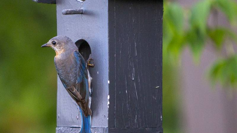 Multiple reports of songbirds are dying across Indiana and Kentucky and no one knows why.