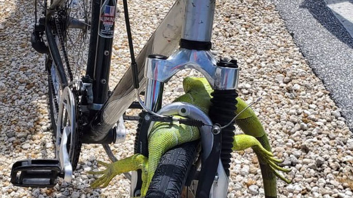 Iguana involved in a bicycle accident in Florida