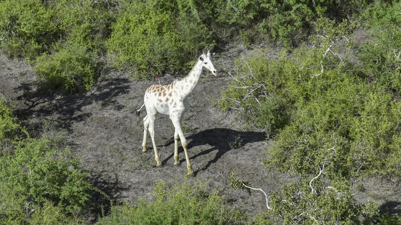 In this photo released by the Ishaqbini Community Conservancy, a male giraffe with a rare...