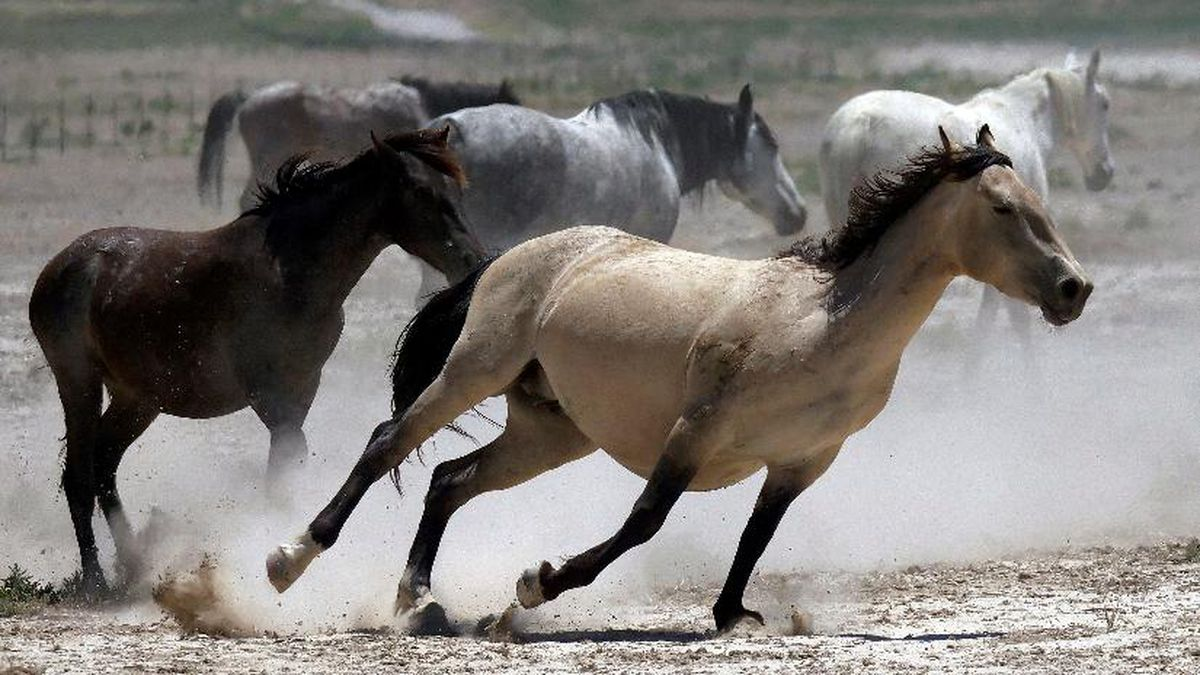 In this June 29, 2018, file photo, wild horses kick up dust as they run at a watering hole outside Salt Lake City. (AP Photo/Rick Bowmer, File)