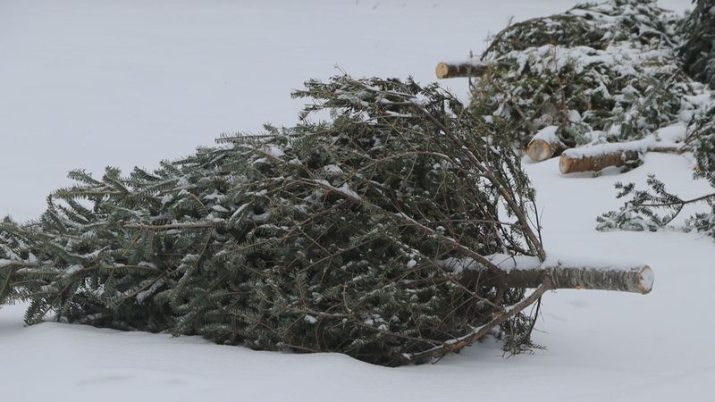 How to dispose of old Christmas trees.