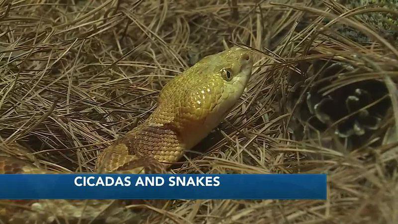 Cicadas and Snakes