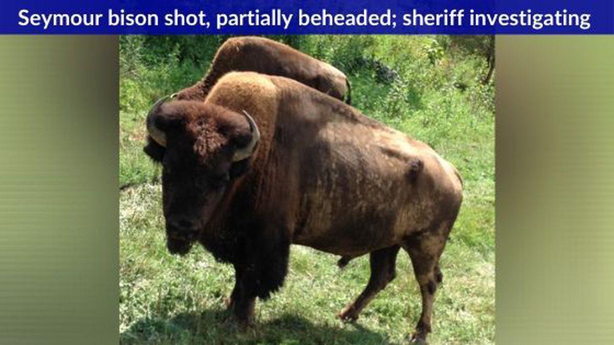 Seymour bison found shot / Source: (Ed Ingles)