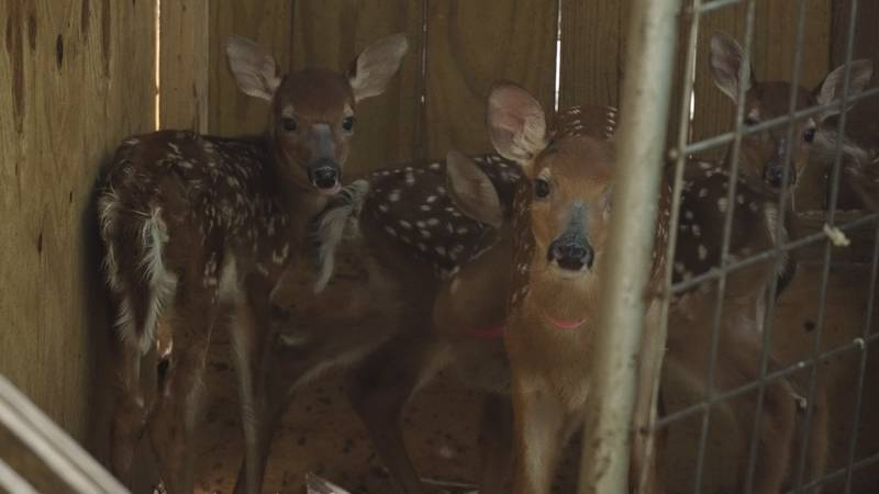 The Little Ponderosa Zoo helping rehab 60 fawns