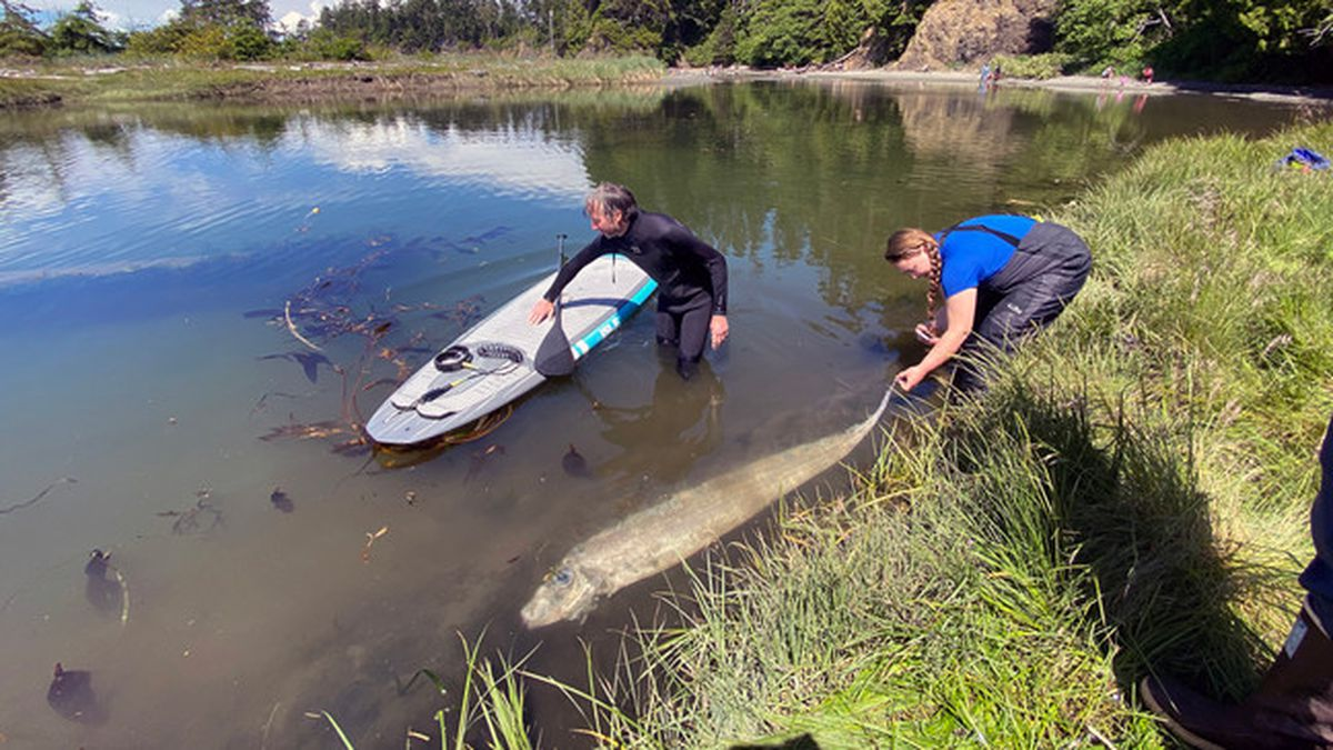 """A rare """"King-of-the-salmon"""" discovered in the Salt Creek Recreation Area near Port Angeles on..."""