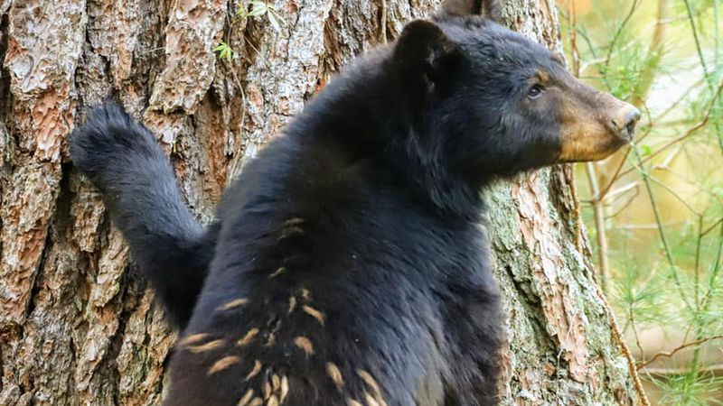 Kevin Noble spotted this bear - with blonde highlights - using a 400mm lens.