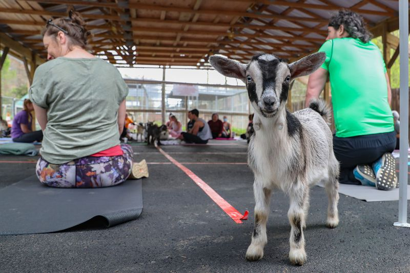 The zoo partnered with Knox Yoga and Barre Studio to offer yoga classes while spending time...