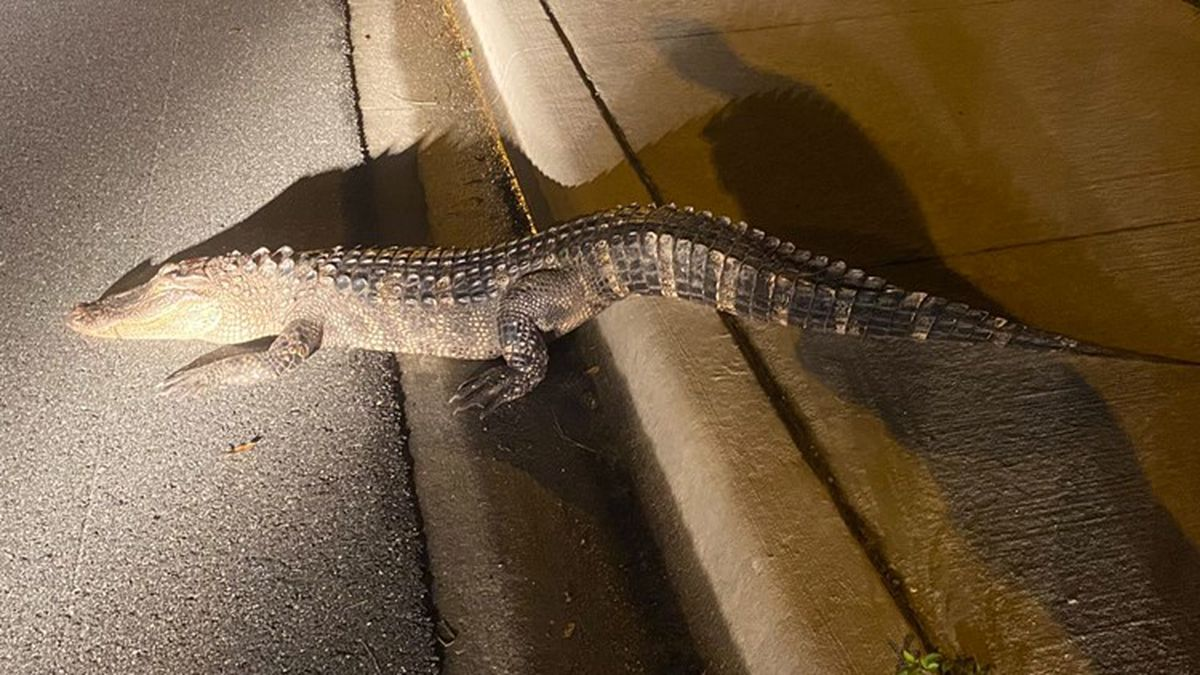 Florida police say all parties survived after a motorist hit an alligator in Cocoa.