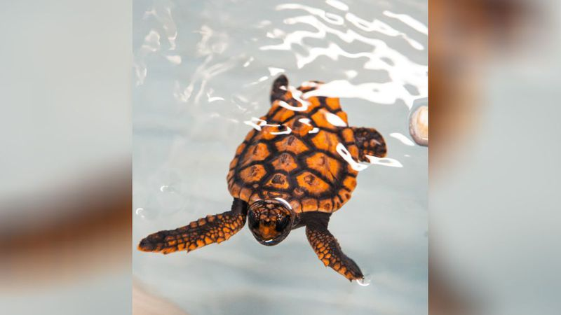 The North Carolina Aquarium at Fort Fisher is inviting the public to help name two baby...