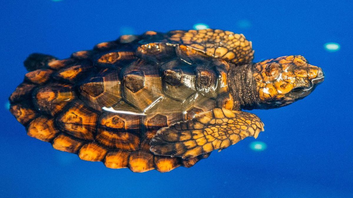 The North Carolina Aquarium at Fort Fisher is holding a public contest to help name two baby loggerhead sea turtles currently in the aquarium's care. (Source: Fort Fisher Aquarium)