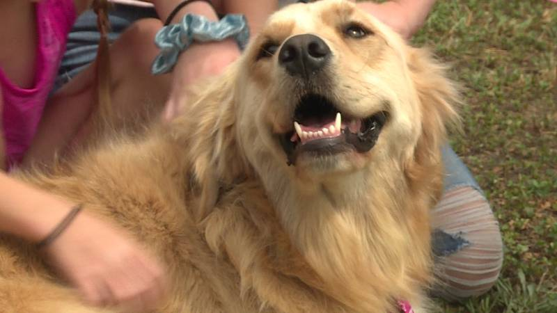 Sophie the golden retriever is working hard at being a loving presence for kids.