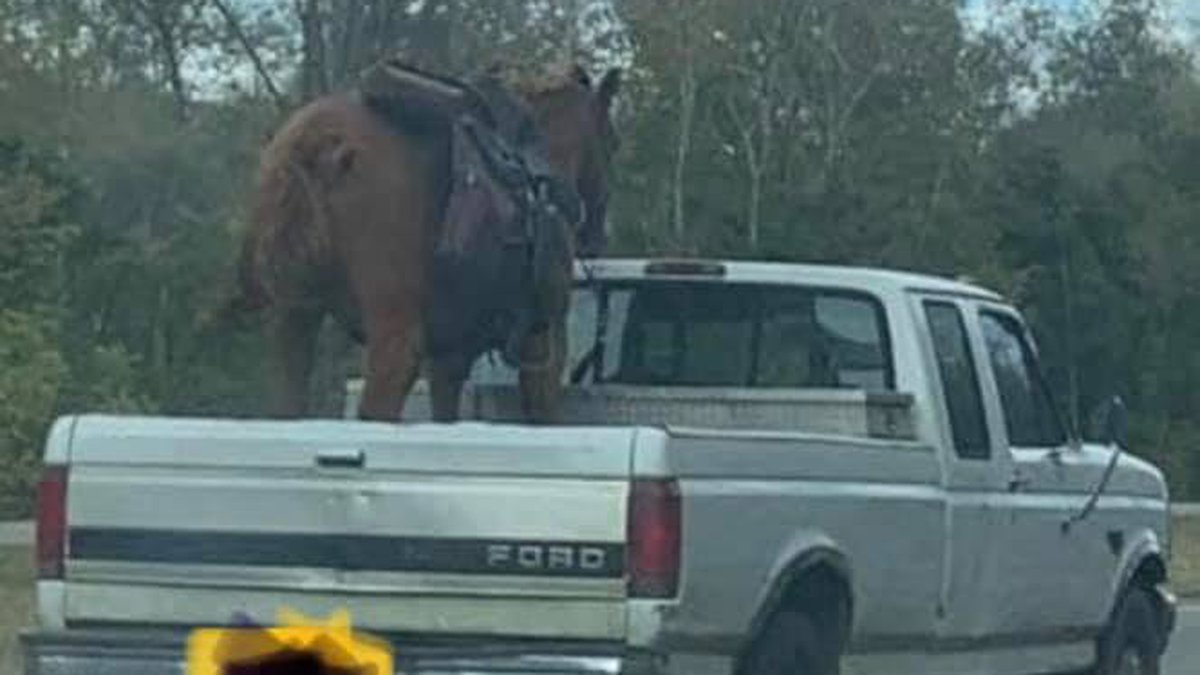 A photograph, reportedly taken in Tennessee, shows a horse traveling in the bed of a pickup...