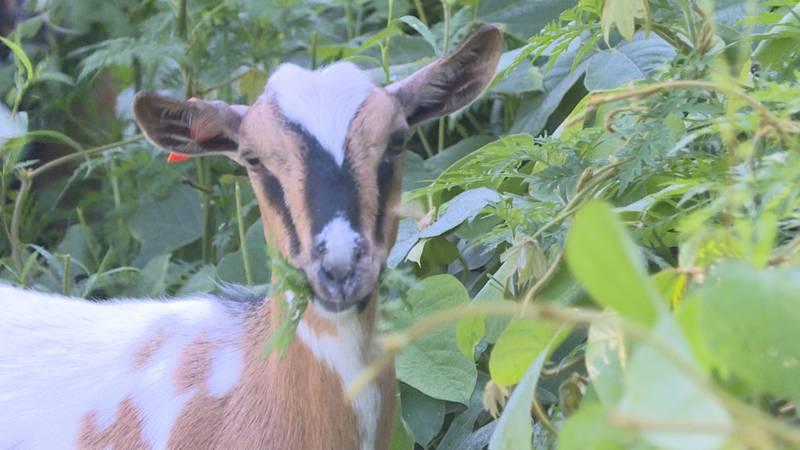 Goats eating kudzu on Maryville College Campus