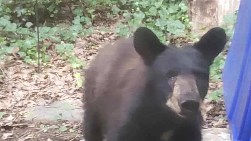 West Knoxville Bear