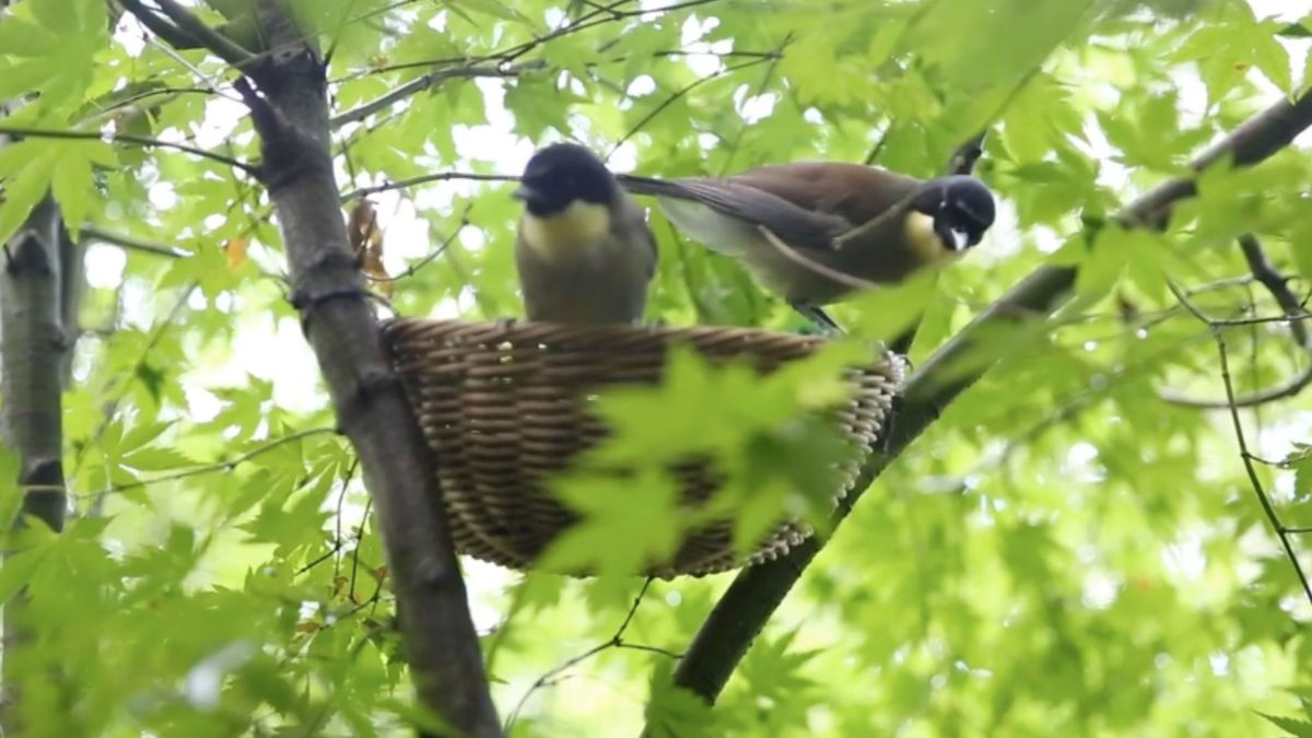 """For the first time, a """"Blue crowned laughingthrush"""" hatched at the zoo on July 16. /"""