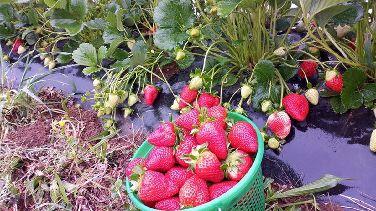 Farmers throughout the state said the rapid weather changes mean an abundance of strawberries...